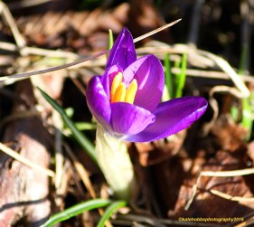 The first crocus copyrighted
