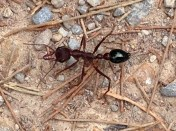 "Bull Ant on the Yarra trail, not a scene from ""Starship Troopers."""