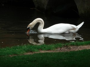 http://www.seedresources.com/view/images/swan-1