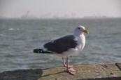 Berkeley Seagull