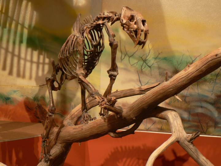 Smilodon fossil sabertooth cats suffered from ankylosing spondylitis