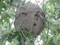 Bald Faced Hornet Nest