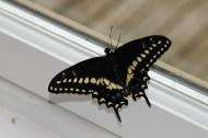 Male Black Swallow Tail