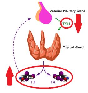 Hyperthyroid hormone feedback naturopath nd toronto