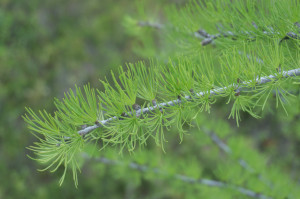 Larch detail