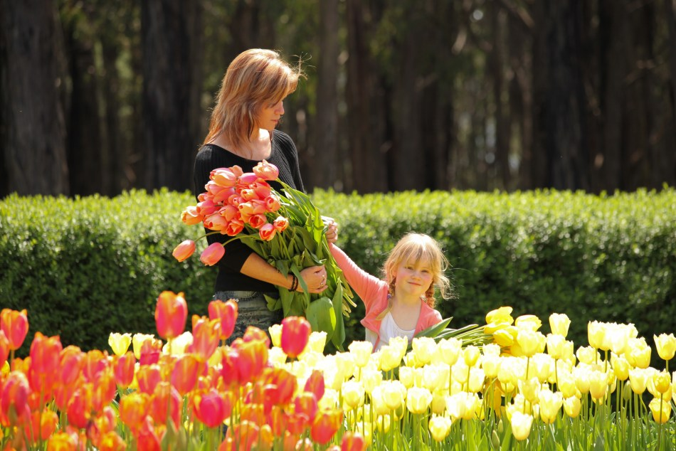 Woman and child picking tulips at Tesselaar Tulip Festival