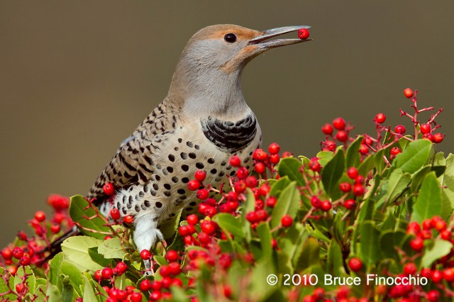 Side View Of A Female Northern Flicker With Berry In Her Beak