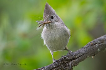 Oak Titmouse With A Mouthfull Of Bugs