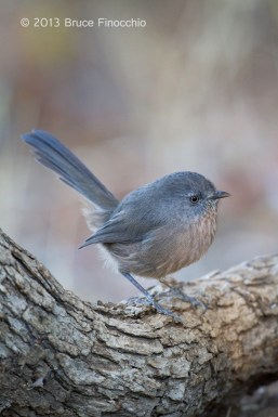A Wrentit Pauses On A Blue Oak Branch