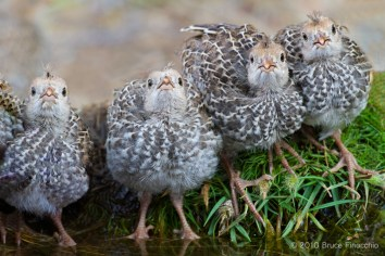 California Quail Chicks Gather Around Water
