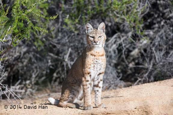 Ramrod Ranch Young Bobcat