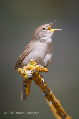 House Wren Calls From A Branch