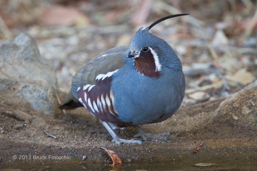 The True Blue Quail, A Mountain Quail