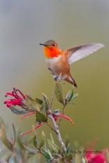 Allen's Hummingbird On Grevillea Perch