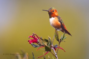 Beautifully Royal, A Male Allen's Hummingbird Perched