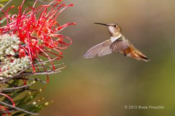 Female Allen's Hummingbird Approaches Superb Grevillea Blossoms