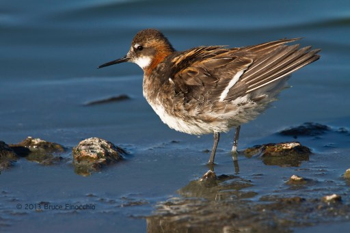 Red-necked Phalarope Ruffles Feathers Along The Shore