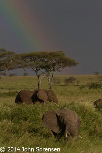 African Elephants Under A Rainbow