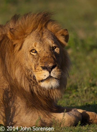 Male Africa Lion