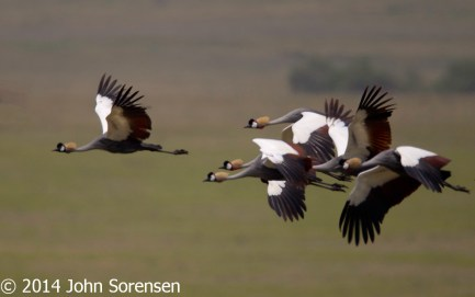 Grey Crowned Cranes in Flight