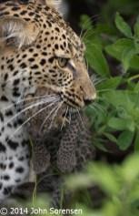 Female Leopard Moving Newborn