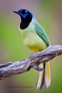 Stunning Green Jay
