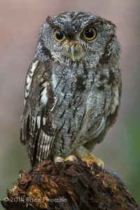Western Screech Owl With Lady Bug