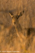 Alert Female Reedbuck Camouflage In the Reeds