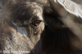 Into A Cape Buffalo's Eye