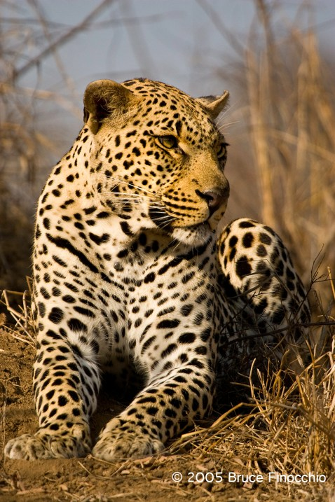 Male Leopard Watching His Surroundings
