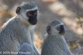 Mother Vervet Monkey and Young