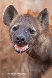 Spotted Hyena Face After Feeding