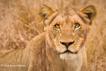 The Intense Look Of A Lioness