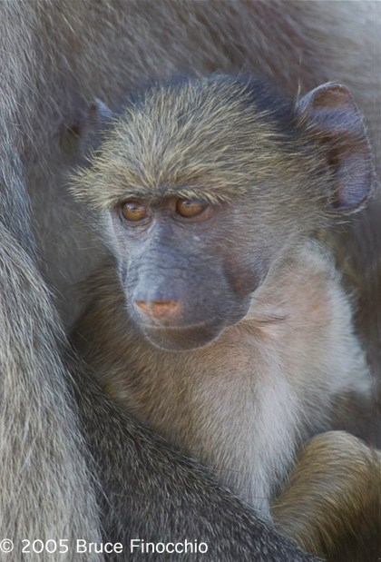 Young Baboon in Mother's Arms