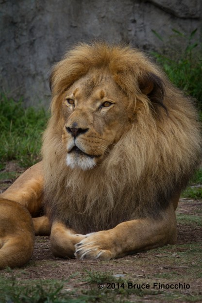 A Relaxed Male Lion