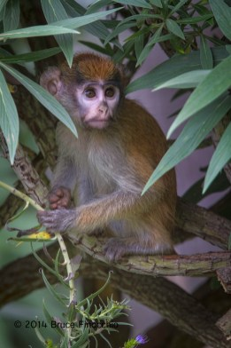 Young Patus Monkey Looks Out At The World