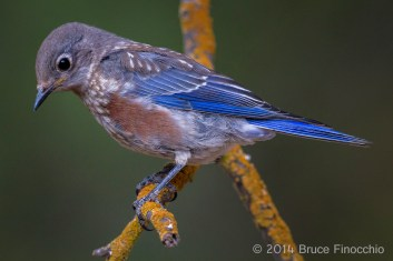 Young Juvenile Male Western Bluebird On A Orange Lichen Branch