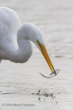 Great Egret Plucks Minnow From The Water
