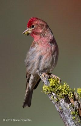 Beautiful Male Cassin's Finch