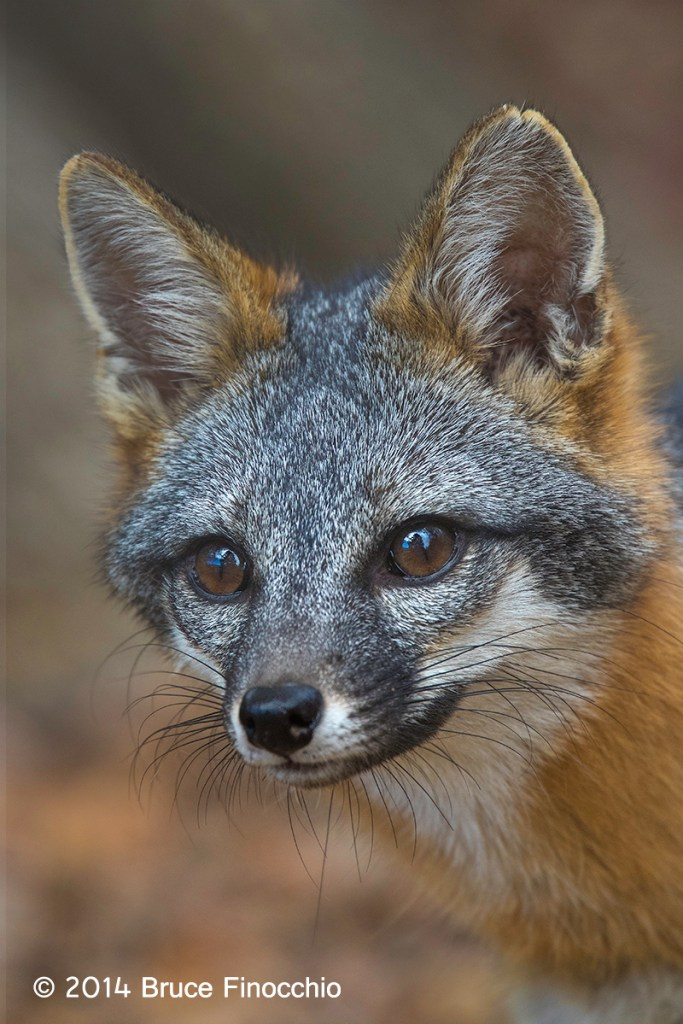Gray Fox Portrait