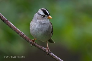 A Mature White-crowned Sparrow On Perch