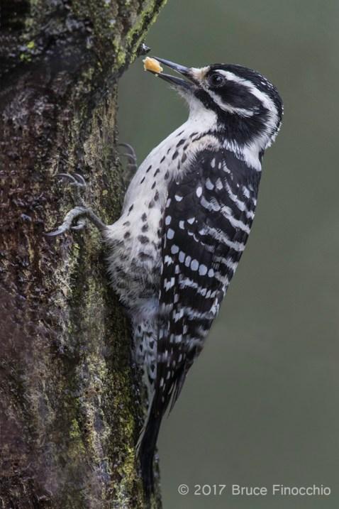 Female Nuttall's Woodpecker Stashing Food In Tree Bark