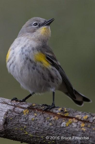 Yellow-rumped Warbler With Open Beak