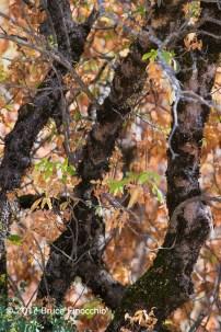 Black Oak Tree Trunks Against Fall Colored Leaves