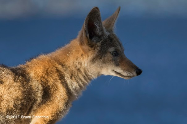 Young Coyote Intent On Something In The Distance