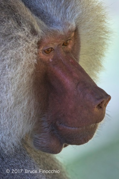 Face and Snout Of A Mature Male Hamadryas Baboon