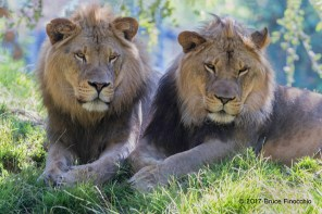 Two Young Male Lion Share A Moment Together