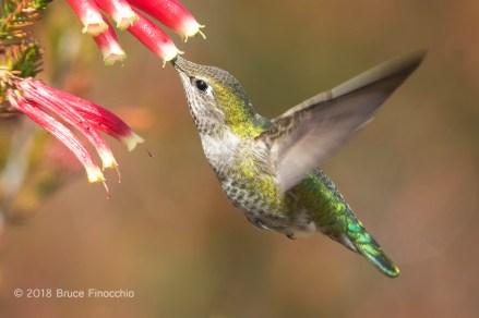 Female Anna's Hummingbird Sipping Nectar From A Cape Heath Blossom