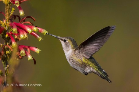 Female Anna's Hummingbird Sipping Nectar From Erica Speciosa Blossoms