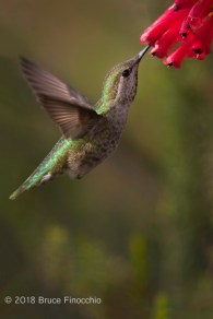 Female Anna's Hummingbird Sips Nectar From Santa Cruz Scarlet Cape Heath